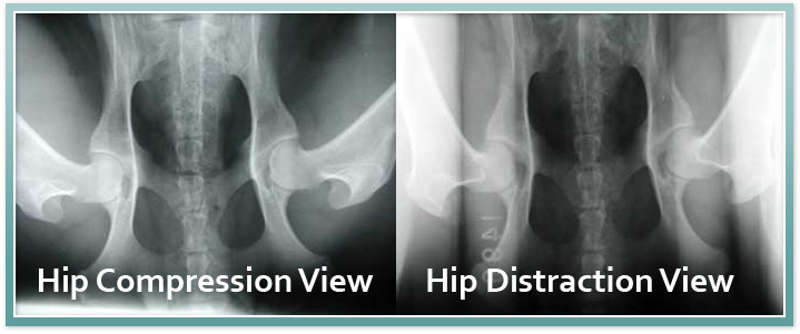 Canine Hip Dysplasia and the PennHIP Procedure